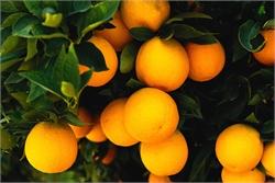 درمان سرفههای طولانی با پرتغال و نمک